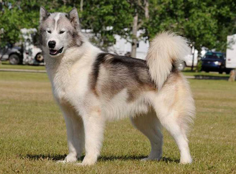 Dogs That Look Like Wolves In Canada