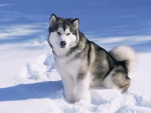 lynn-m-stone-alaskan-malamute-dog-in-snow-usa