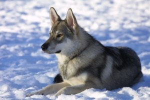 Tamaskan_dog